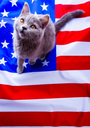 USA flag and cat